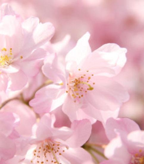 桜から私たち日本人に向けてのメッセージ
